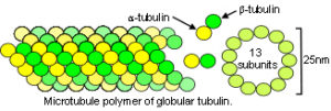 26_microtubule