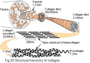 29_collagen