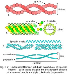 cytoskeleton fibres
