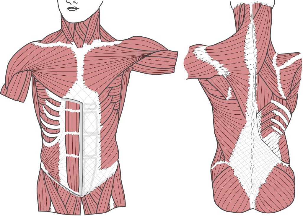 Fascia Anatomy Definition 7116381 Follow4morefo