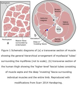 myofascia fig 1