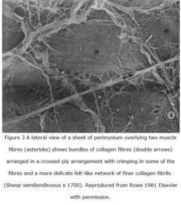 myofascia fig 3