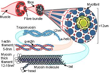 myosin hierarchy